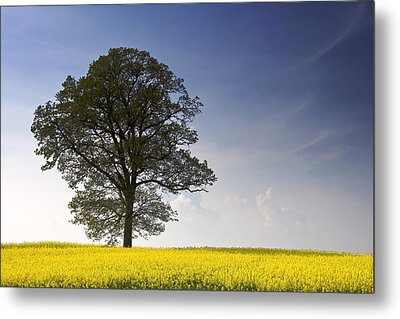 Tree In A Rapeseed Field, Yorkshire Metal Print by John Short