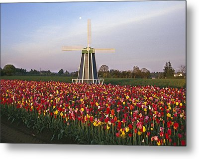Tulip Field And Windmill Metal Print by Natural Selection Craig Tuttle