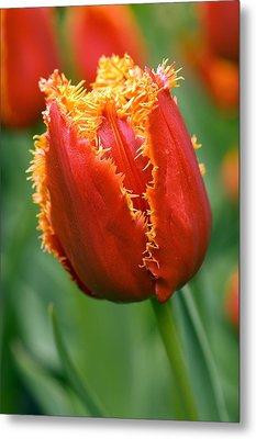 Tulip (tulipa 'willem Van Orange') Metal Print