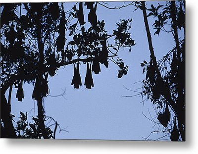 Vulnerable Spectacled Flying Fox Bats Metal Print by Jason Edwards