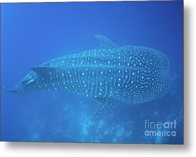 Whale Shark Metal Print by Sami Sarkis