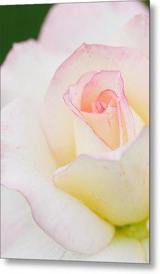 White Rose With Pink Edge Metal Print by Atiketta Sangasaeng