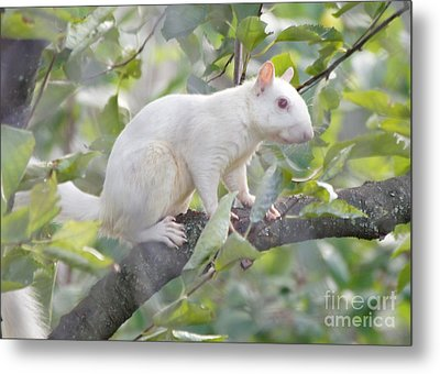 White Squirrel Metal Print by Robert E Alter Reflections of Infinity
