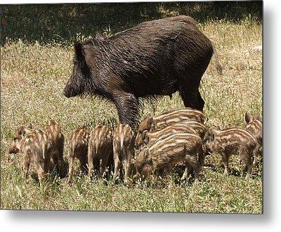 Wild Boar Metal Print by Steve Mangan