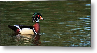 Metal Print featuring the photograph Wood Duck by Josef Pittner