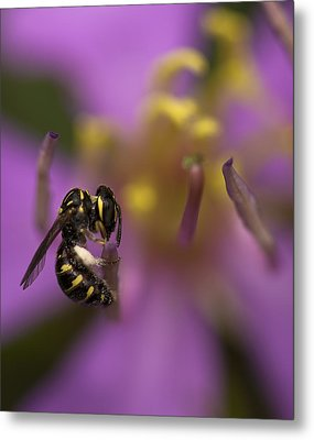 Yellow Faced Bee Metal Print by Zoe Ferrie