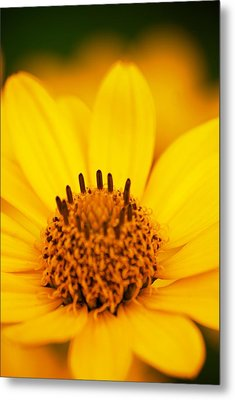 Yellow Flower Metal Print by Andre Faubert