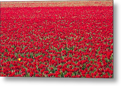 Metal Print featuring the photograph Yellow Tulip by Hans Engbers
