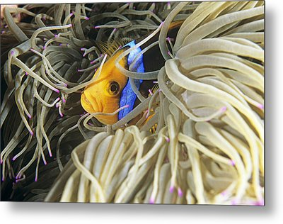 Yellowtail Anemonefish In Its Anemone Metal Print