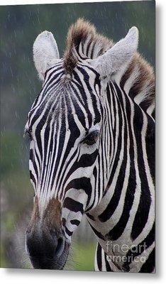 Zebra Metal Print by Thomas Marchessault