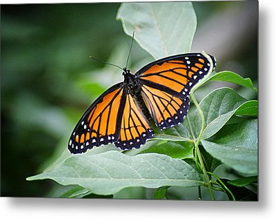 1205-8934 Monarch In Spring Metal Print by Randy Forrester