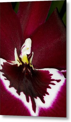 Exotic Orchid Flowers Of C Ribet Metal Print