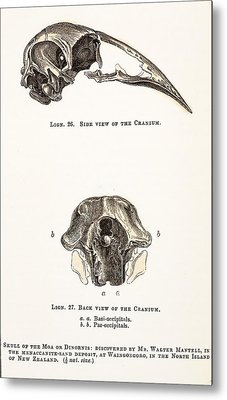 1851 Dinornis Moa Skull Discovery Metal Print by Paul D Stewart