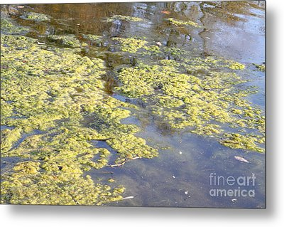 Algae Bloom In A Pond Metal Print by Photo Researchers, Inc.