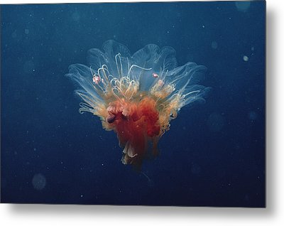 Arctic Jellyfish Off Baffin Island Metal Print