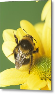 Bumble Bee Pollinating A Flower Metal Print by David Aubrey