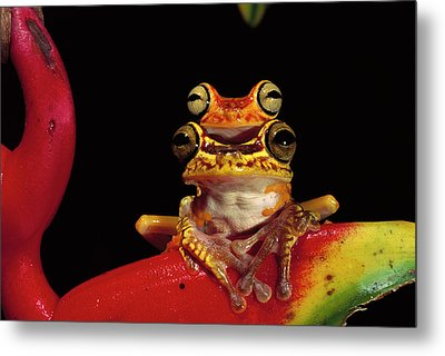 Chachi Tree Frog Hyla Picturata Pair Metal Print by Pete Oxford