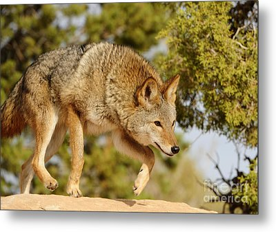 Coyote Hunting Metal Print by Dennis Hammer