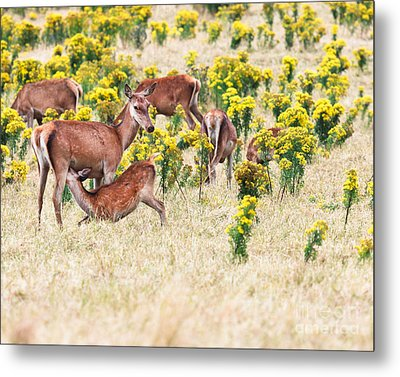Deers Metal Print by MotHaiBaPhoto Prints