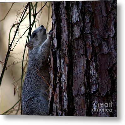 Delmarva Fox Squirrel Metal Print
