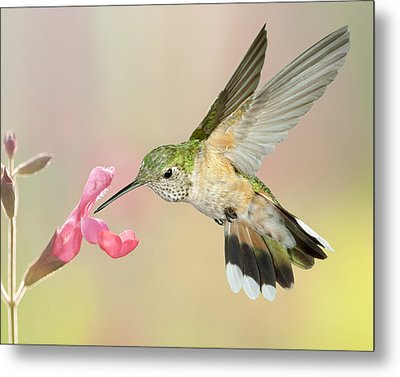 Female Broadtail Hummingbird Metal Print by Gregory Scott