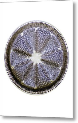 Fossil Diatom, Light Micrograph Metal Print by Frank Fox