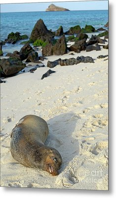 Galapagos Sea Lion Sleeping On Beach Metal Print by Sami Sarkis