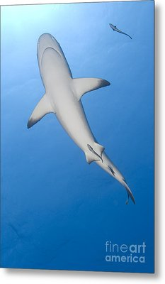Gray Reef Shark With Remora, Papua New Metal Print by Steve Jones