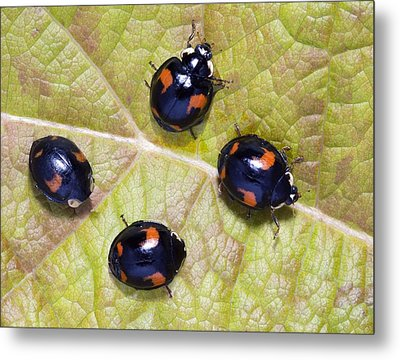 Harlequin Ladybirds Metal Print by Sheila Terry
