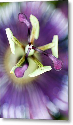 Passion Flower (passiflora Amethystina) Metal Print by Lawrence Lawry