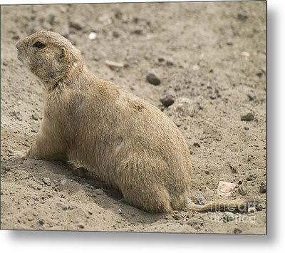 Prairie Dog Metal Print by Odon Czintos