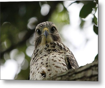 Red Shouldered Hawk Metal Print by Jeanne Andrews