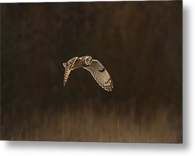 Metal Print featuring the photograph Short Eared Owl by Paul Scoullar