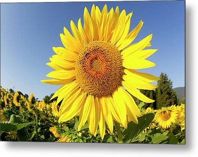 Sunflower Fields In Tuscany,italy. Metal Print by Chris Cole