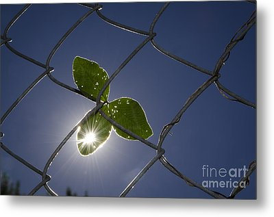 Three Leaf Clover Metal Print by Mats Silvan