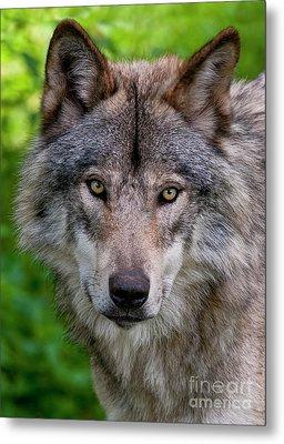Timber Wolf Portrait Metal Print by Michael Cummings