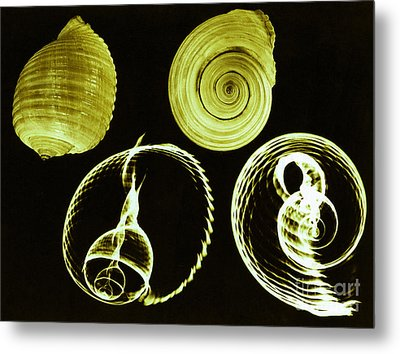 Tun Shell X-ray Metal Print by Photo Researchers