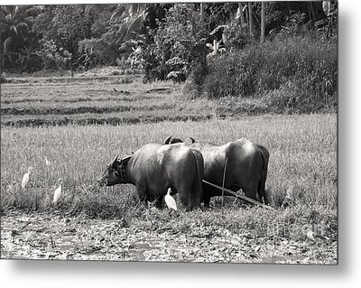 Water Buffalo Metal Print by Jane Rix