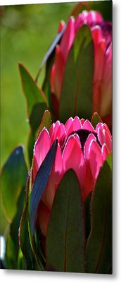 Protea Blossom Metal Print by Werner Lehmann