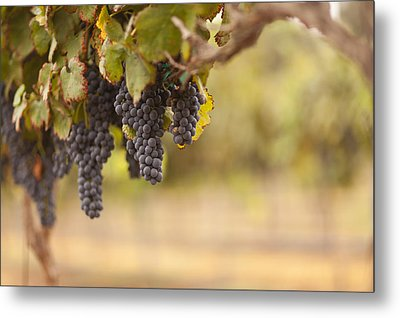Beautiful Lush Grape Vineyard In The Morning Sun And Mist Metal Print by Andy Dean