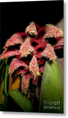Bulbophyllum Orchid Metal Print by Dant� Fenolio