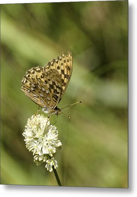 Metal Print featuring the photograph Butterfly by Betty Depee