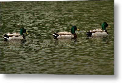 Metal Print featuring the photograph 3 Ducks by Josef Pittner