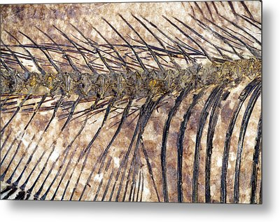 Fossilised Fish Metal Print by Lawrence Lawry