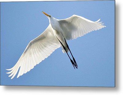 Great White Egret In Flight Metal Print by Paulette Thomas
