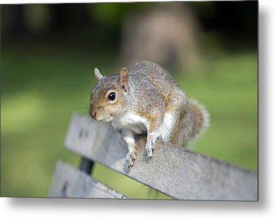 Grey Squirrel Metal Print by Georgette Douwma