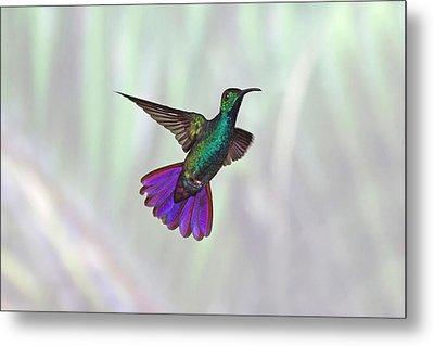 Hummingbird Metal Print by David Tipling