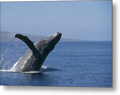 Humpback Whale Breaching Maui Hawaii Metal Print by Flip Nicklin