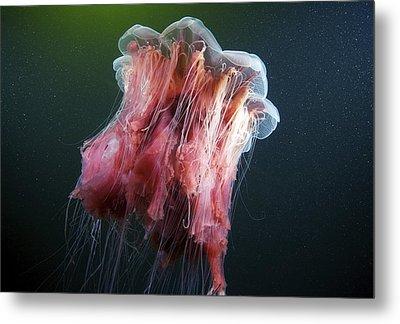 Lion's Mane Jellyfish Metal Print