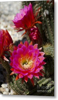 Pink Cactus Flowers Metal Print by Jim And Emily Bush